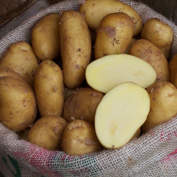 Sieglinde - frisch geerntete Frühkartoffeln aus Galatina
