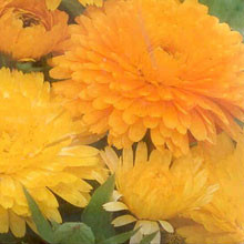 Calendula, Ringelblume-Farbmischung (Biosaatgut)