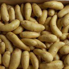 Laratte/ La Ratte als Frühkartoffel von der Ile de Batz/Bretagne