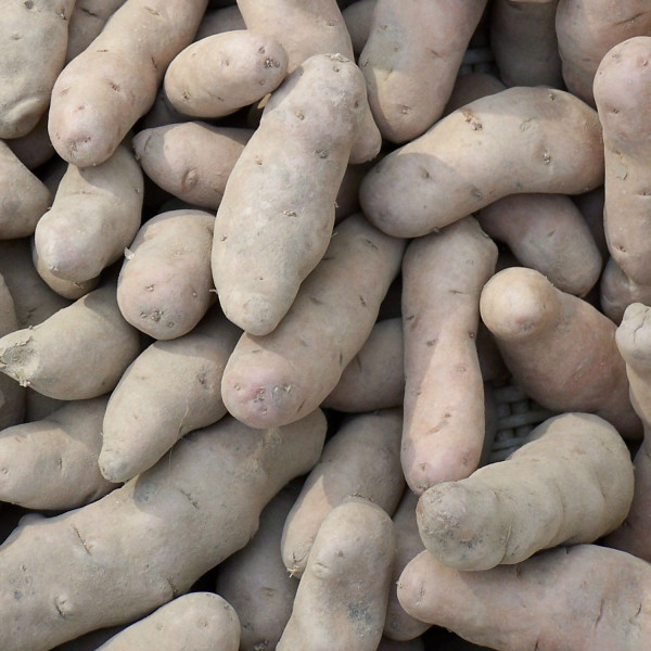 Rosa Tannenzapfen - Grenailles, Drillinge, Gartenkartoffel [fk]