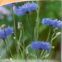 Kornblume (Blauer Junge) (Bio-Saatgut)