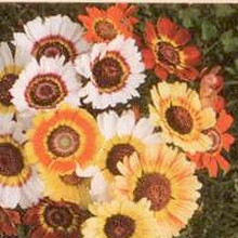 Bunte Wucherblume (demeter-Biosaatgut)