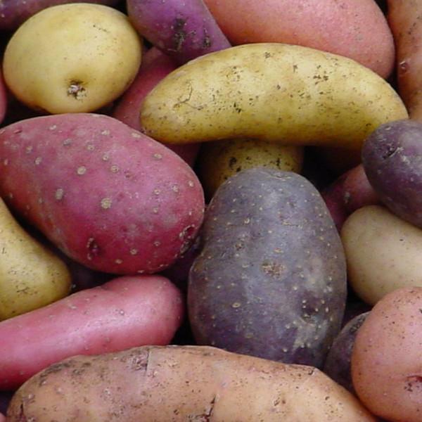 GESPRÄCHSSTOFF - Das Kartoffel-Testessen, Kartoffeln testessen