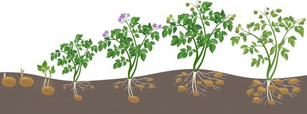Kartoffeln-pflanzen-AS_113417567