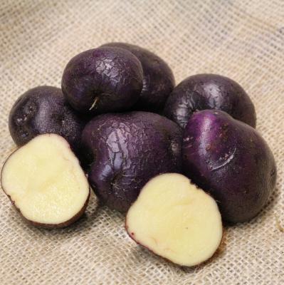 Pflanzkartoffeln Odenwälder Blaue [m] - zertifizierte Saatkartoffeln