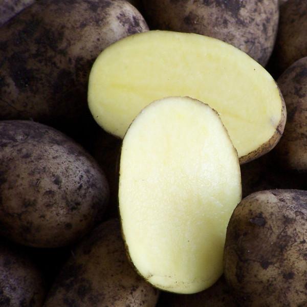 Moor-Sieglinde - Delikatess Kartoffeln aus dem Donaumoos