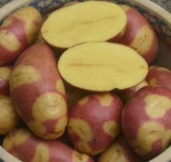 Mayan Twilight [vf] (Solanum Phureja)