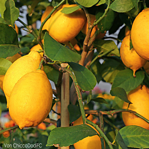 Zitronen von der Amalfiküste (500g Einheiten)