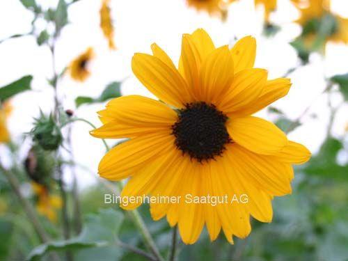 Sonnenblume 'LA TORRE' (kleinblütig) (demeter-Saatgut)