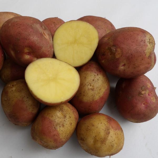 Kartoffelsorte Borella Colorado