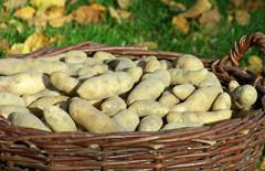 Kartoffelsorte La Ratte aus der Heide